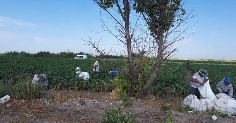 Workers on the way to Sayat Nova, harvesting eggplants.